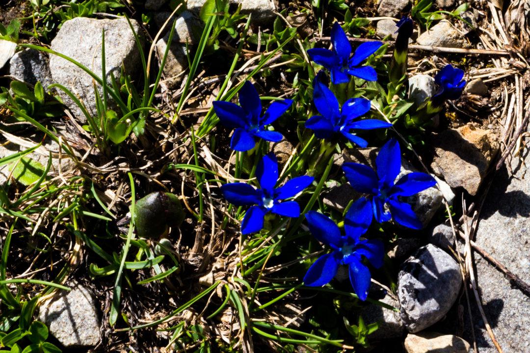 Col de la Cayolle - Fleur